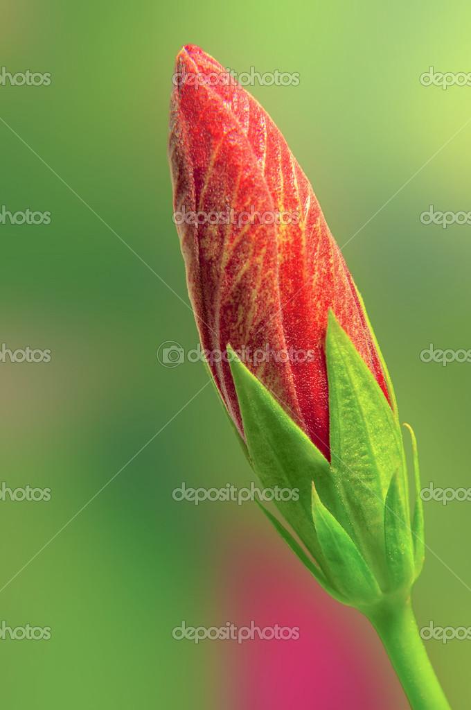 Germoglio di ibisco rosso foto stock midosemsem 35544743 for Ibisco rosso
