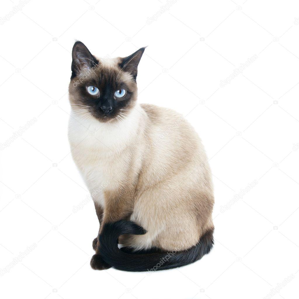 Tajski Lub Kot Syjamski Zdjęcie Stockowe Buecax 23778225
