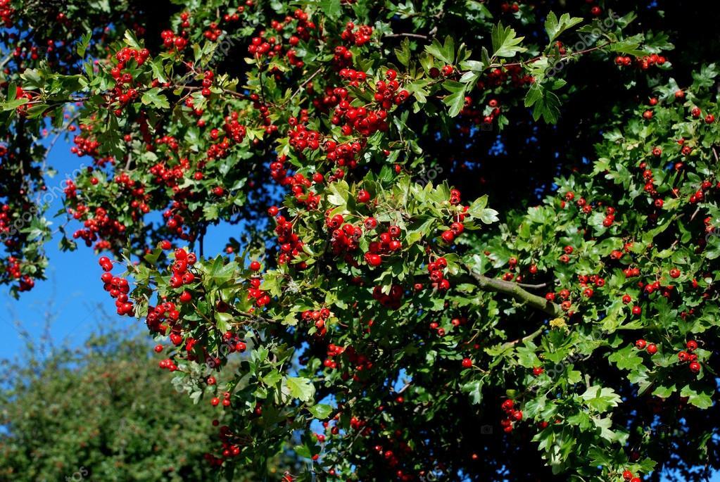 aub pine avec petits fruits rouges photographie sarahdoow 31499463. Black Bedroom Furniture Sets. Home Design Ideas