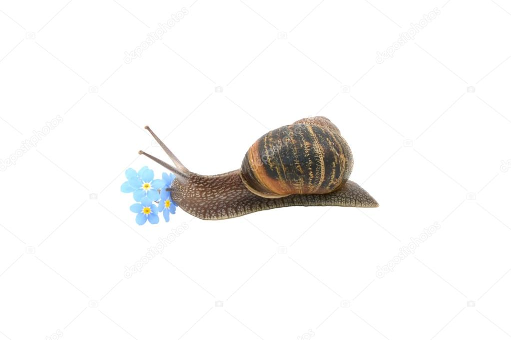 Garden snail exploring blue forget-me-not flowers
