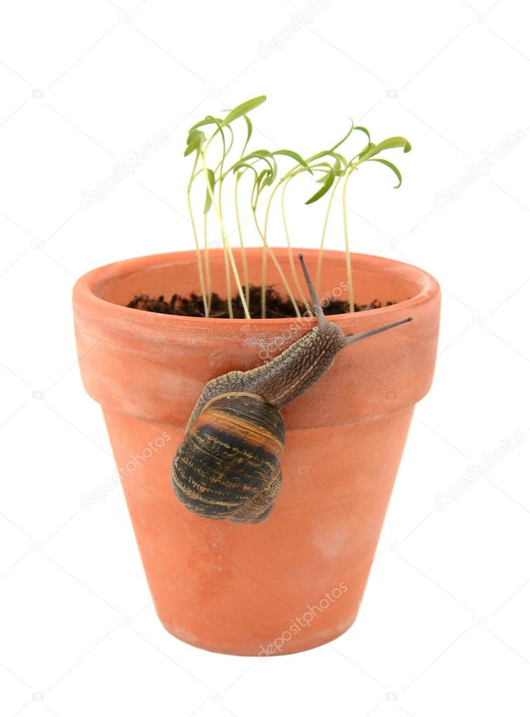 Garden snail climbing a flowerpot to attack young seedlings