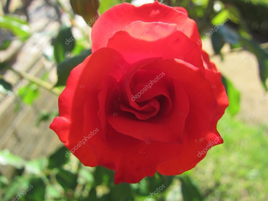 Una Rosa Een Roos Stockfoto Juandelgado 14393771