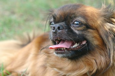 Beautiful pekingese lying on grass relaxed and tongue out, closeup