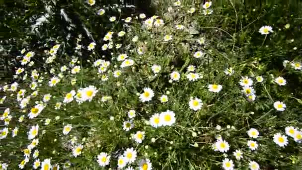 Natural video background. Daisies flower in the meadow. HD, wide angle crane shoot.