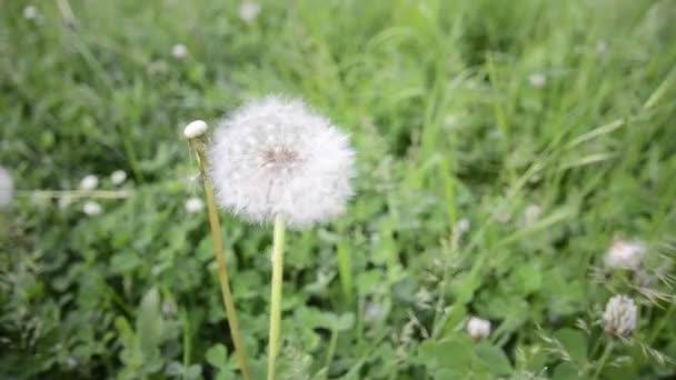 Dandelion on wind background