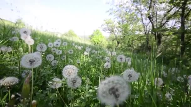 Natural video background. Dandelions in the meadow