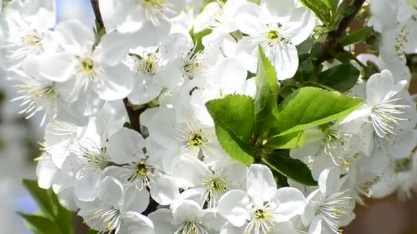 mézelő méhek gyűjtenek virág nektár tavasszal, a háttér mélysége sekély területén