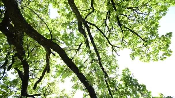 HD crane: gyönyörű fa tetejét a ragyogó kék ég és a nap sugarai, széles szög
