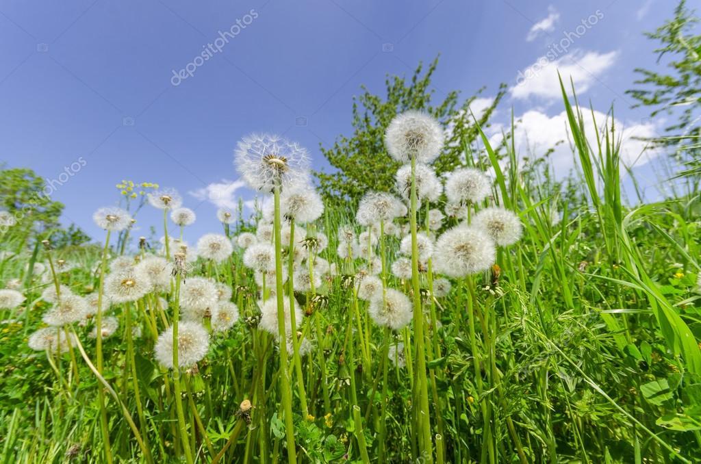 Dandelions in the green grass meadow