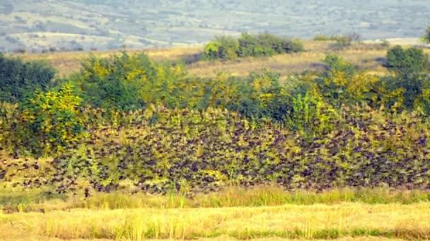 великі стада птахи літають над полем врожаю рису