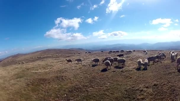 Sheep grazing in the mountain