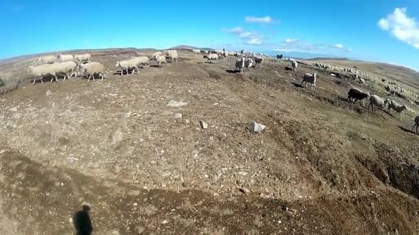 Schafe weiden im Berg