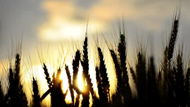 Ears of wheat at dawn