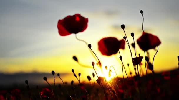 červený květ na pozadí ohnivý západ slunce