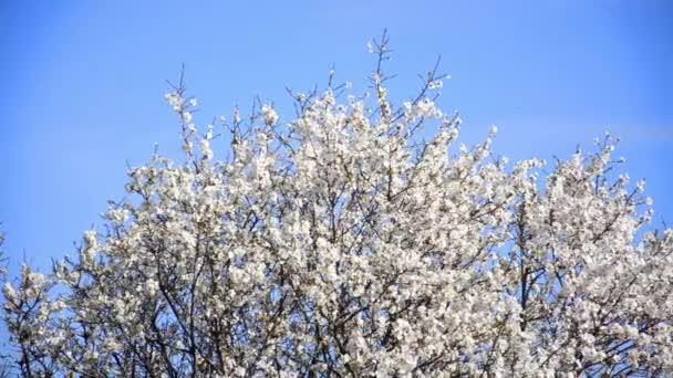 třešeň květy kvetoucí v jarní