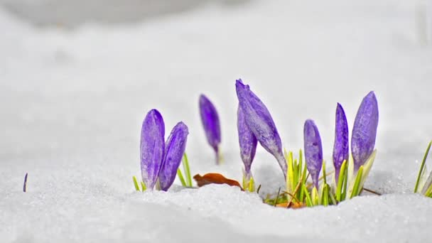 Saffron crocus between melting snow