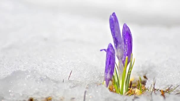 Šafrán crocus mezi tání sněhu