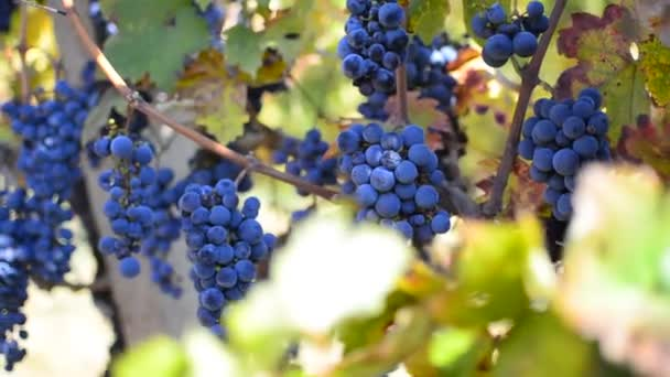 Harvesting Wine Grapes in Vineyard