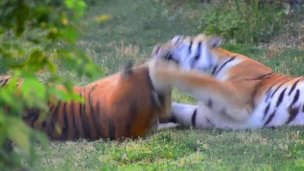 Tigers fight game play