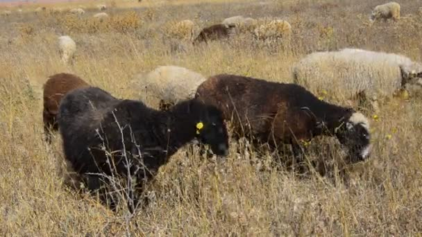 Sheep feasting