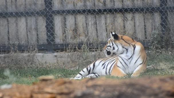 Siberian Tiger Relaxing