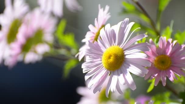 Pink Marguerite Daisy