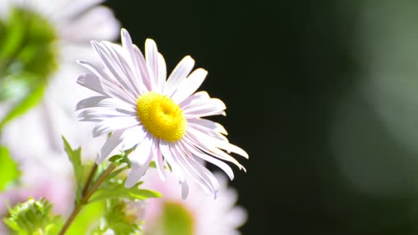 růžový sedmikráska květ