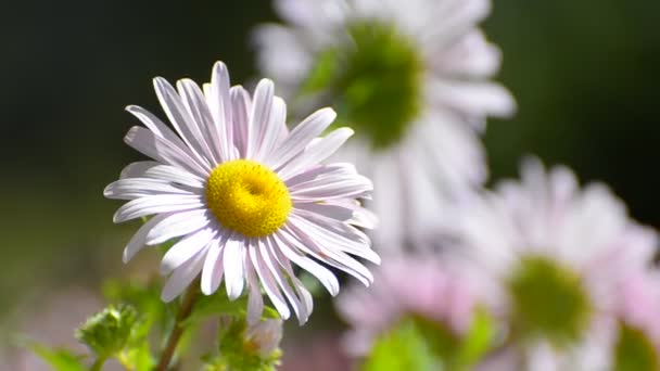 Ping Daisy flower sway on wind