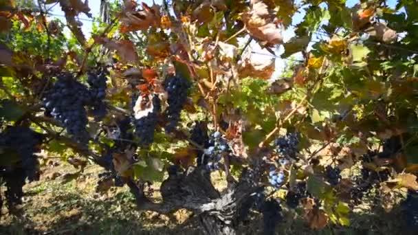 a szőlő szőlő függő