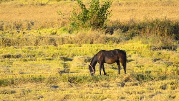 Pferd frisst Reisstroh auf abgeerntetem Feld
