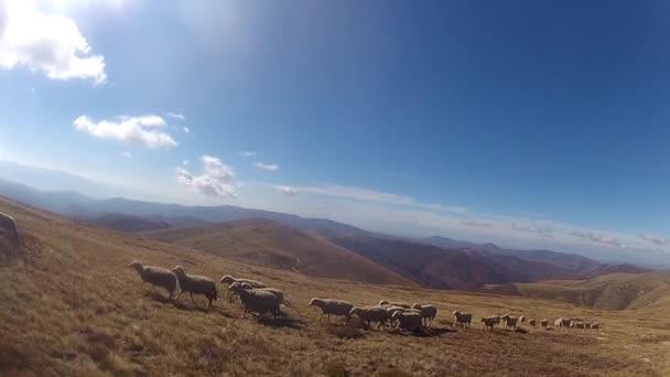 Schafe folgen einen laufenden Mann in einer Weide
