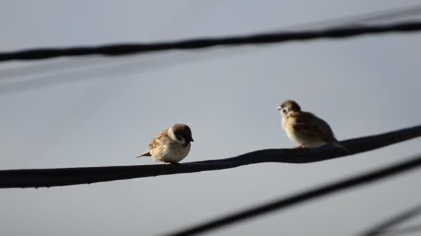 uccello passero