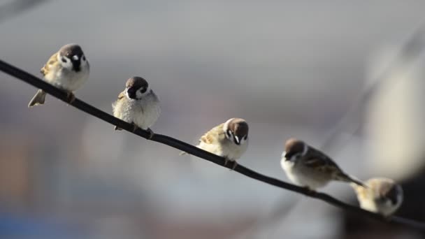 Veréb madár ül a huzal
