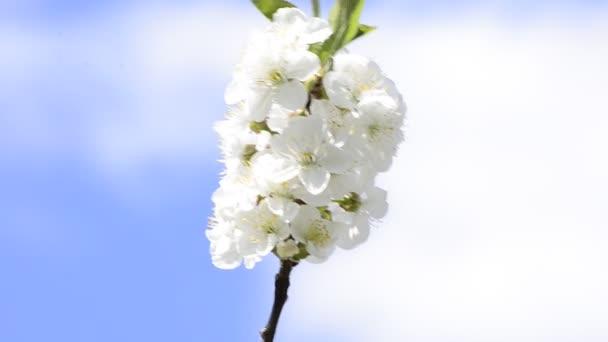 včely medonosné sbírat nektar květin na jaře