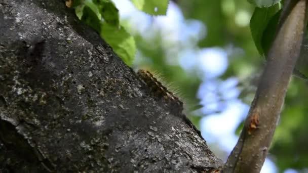 Caterpillar uralkodó pillangó