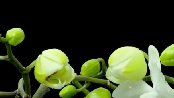 bílá orchidej phalaenopsis květ