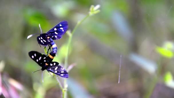 Erba di tigre borer farfalla accoppiamento