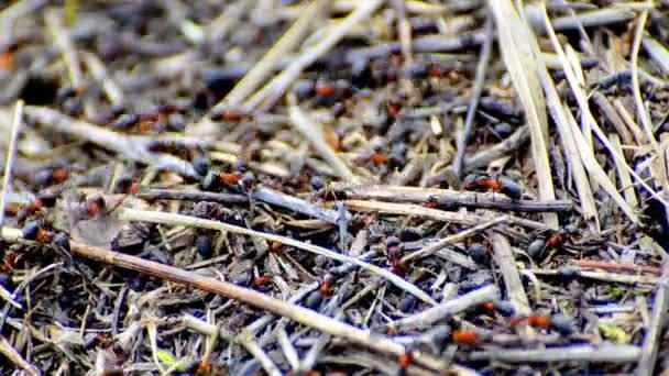 Pracovní mravenci a dva větší
