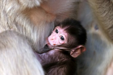 Portrait of small baby macaque