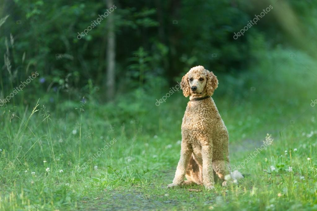 Poodle sitting in forest