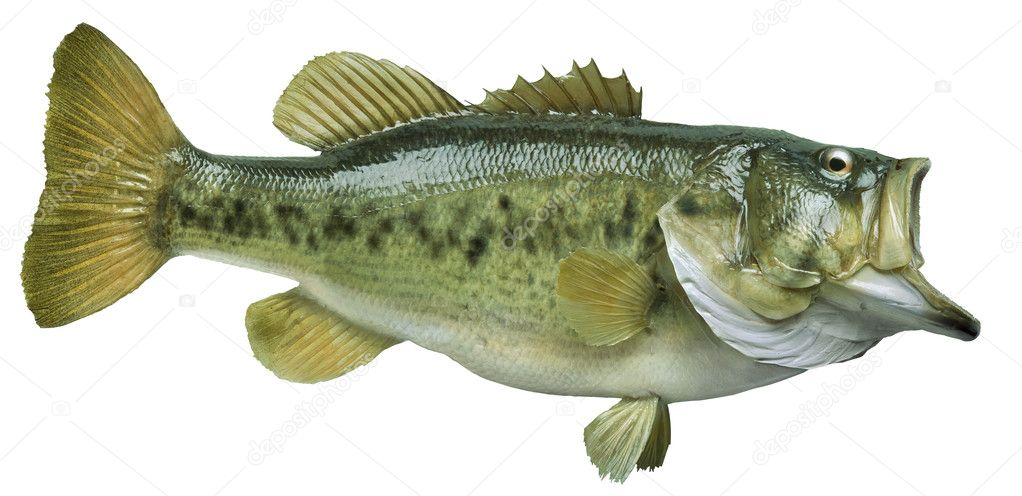 Largemouth bass isolated on white background stock photo for Big fish script