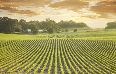 Soybean field at sundown