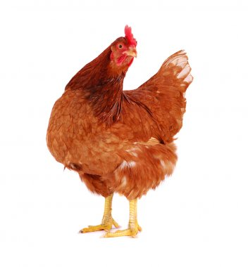 Brown hen isolated on white, studio shot. stock vector