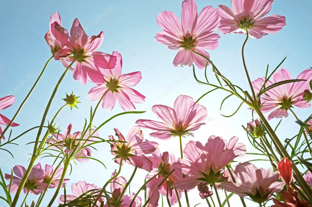 Beautiful Pink Flowers Field Against Sky Stock Photo