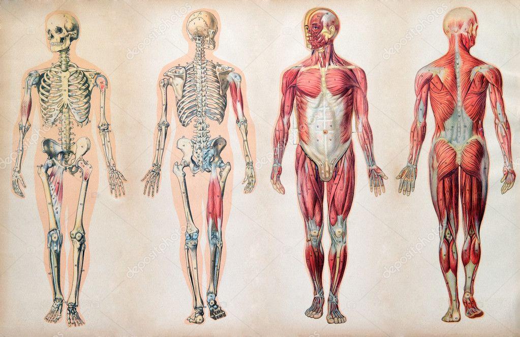 viejos mapas clásicos de la anatomía del cuerpo humano — Foto de ...