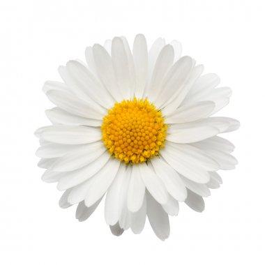 "Картина, постер, плакат, фотообои ""красивая цветочная маргаритка"", артикул 13207089"