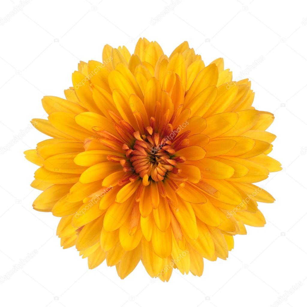 Yellow Chrysanthemum Flower Stock Photo Serkucher 41252471