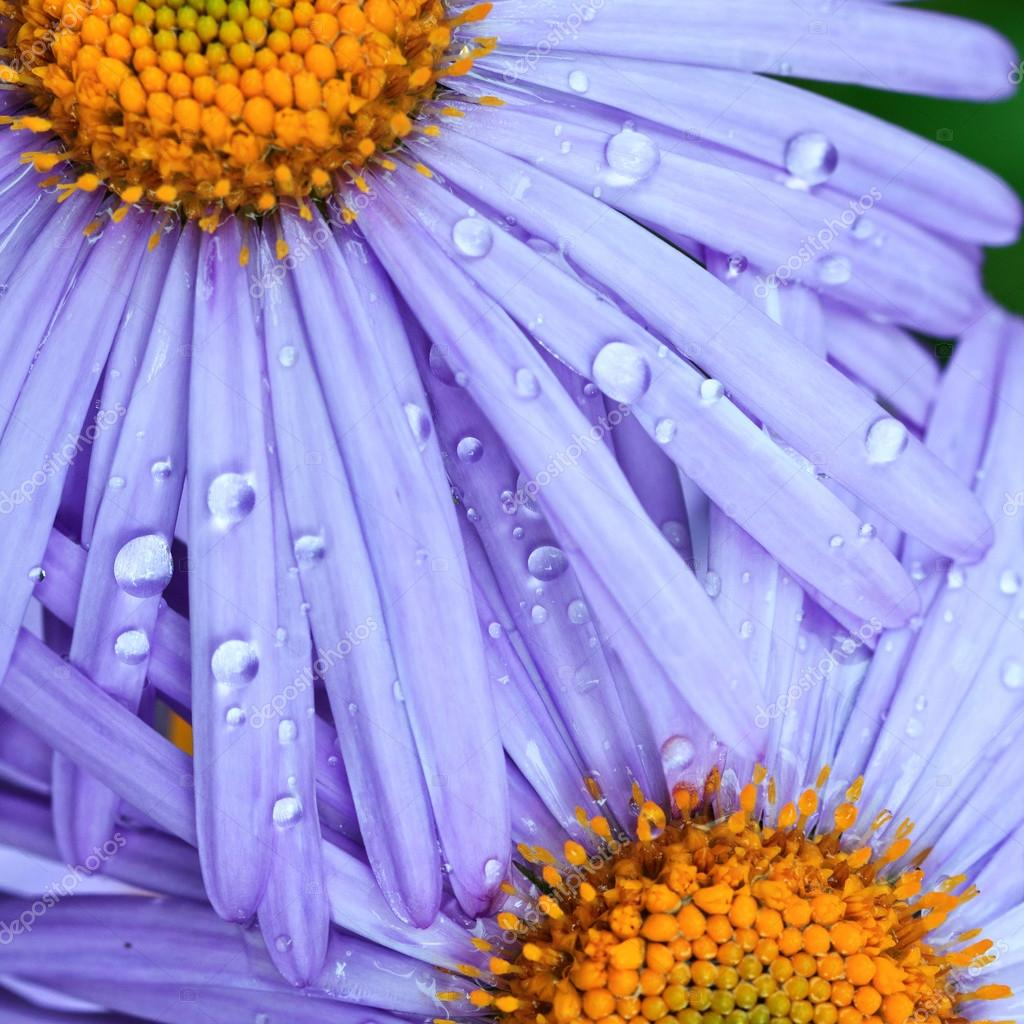 Beautiful purple daisy flowers stock photo serkucher 50947199 beautiful purple daisy flowers with rain drops photo by serkucher izmirmasajfo