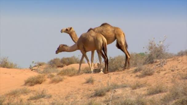 dromedary walk in desert 10246