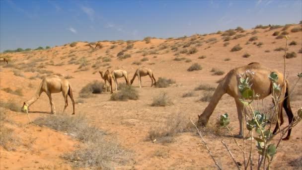 many wild dromedary in desert 10247